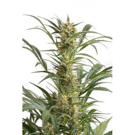 semilla-de-marihuana-amnesia-xxl-auto-x1-dinafem