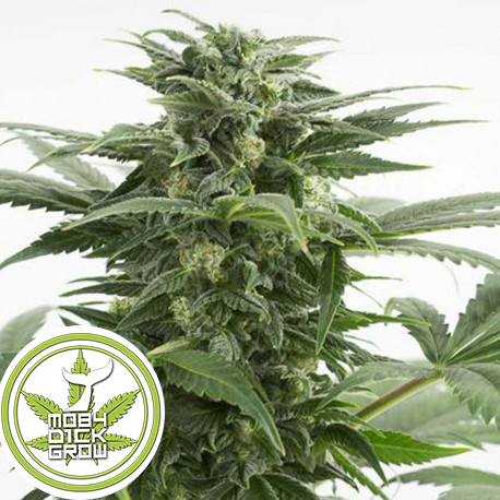 semilla-de-marihuana-haze-xxl-auto-x3-dinafem
