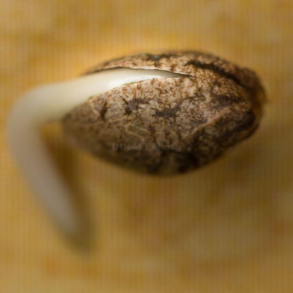 Germinar semillas de marihuana – Pasos