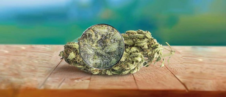 Marihuana Contaminada ¿cómo detectarla?