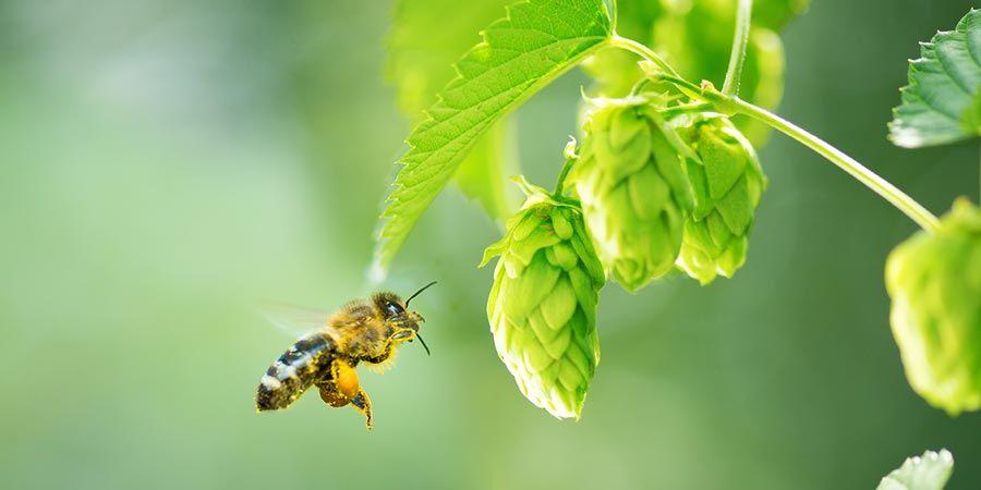 Las abejas productoras de miel de cannabis